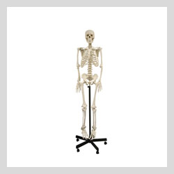 Images -  Anatomical and  Human Skeleton Models  - Skelton Model 66 inch Tall